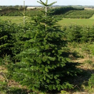 Levně Živý, řezaný Vánoční stromek Jedle Kavkazská / do 120 cm