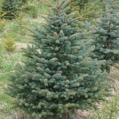 Levně Živý, řezaný Vánoční stromek Smrk Pichlavý / do 120 cm