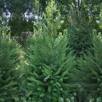 Levně Živý, řezaný Vánoční stromek Smrk Ztepilý / 181 - 200 cm