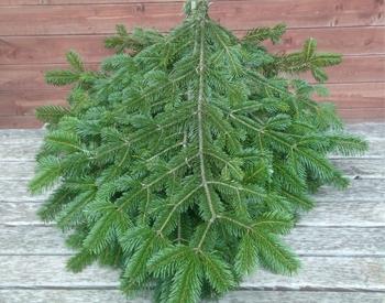 Levně Živý, řezaný Vánoční stromek Chvojí / Chvojí borové - svazek velký (10 větví po 50 cm)