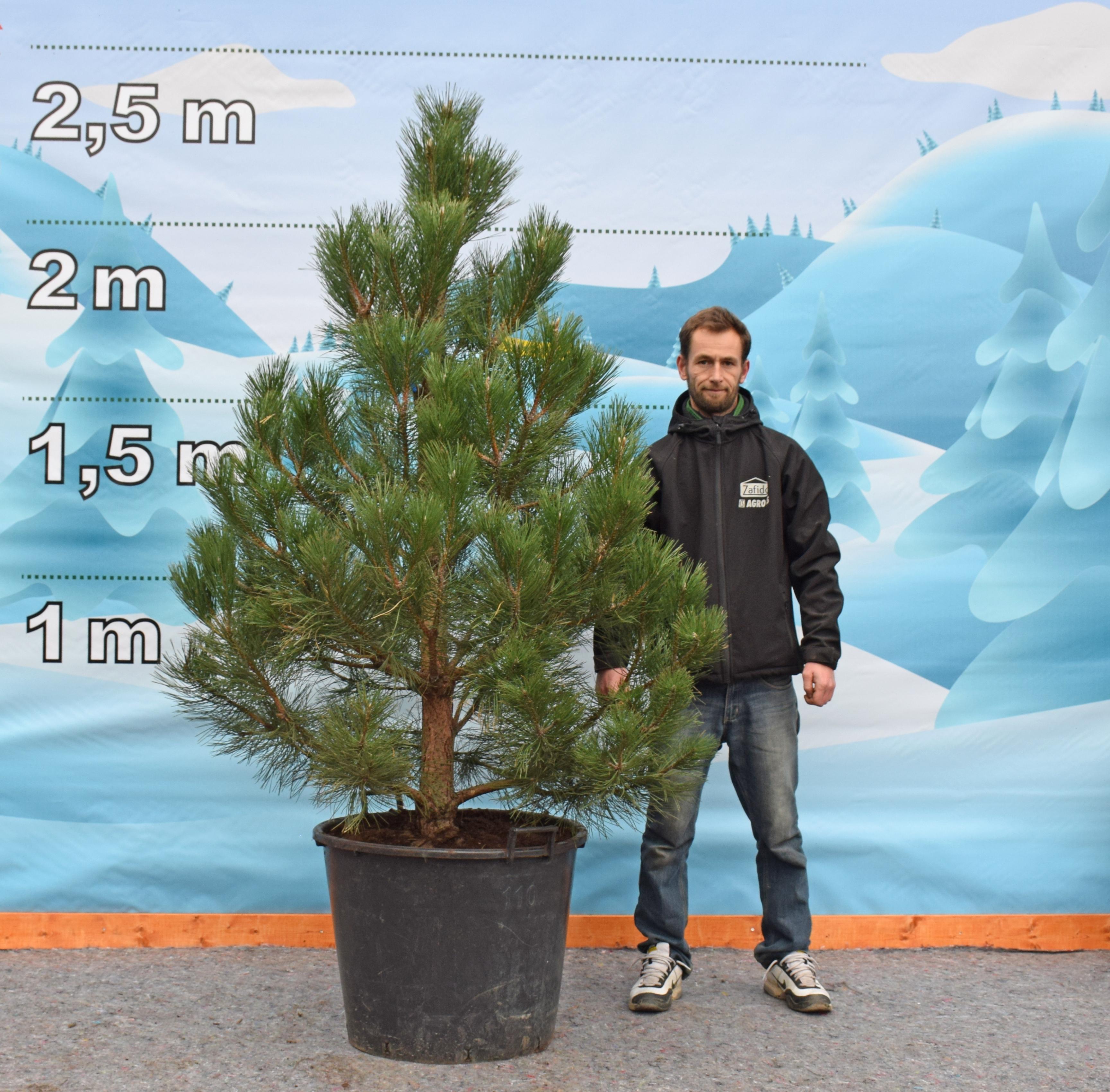 Levně Živý, řezaný Vánoční stromek Stromky v květináčích - Borovice / Borovice kleč Benjamín - 1 490 Kč