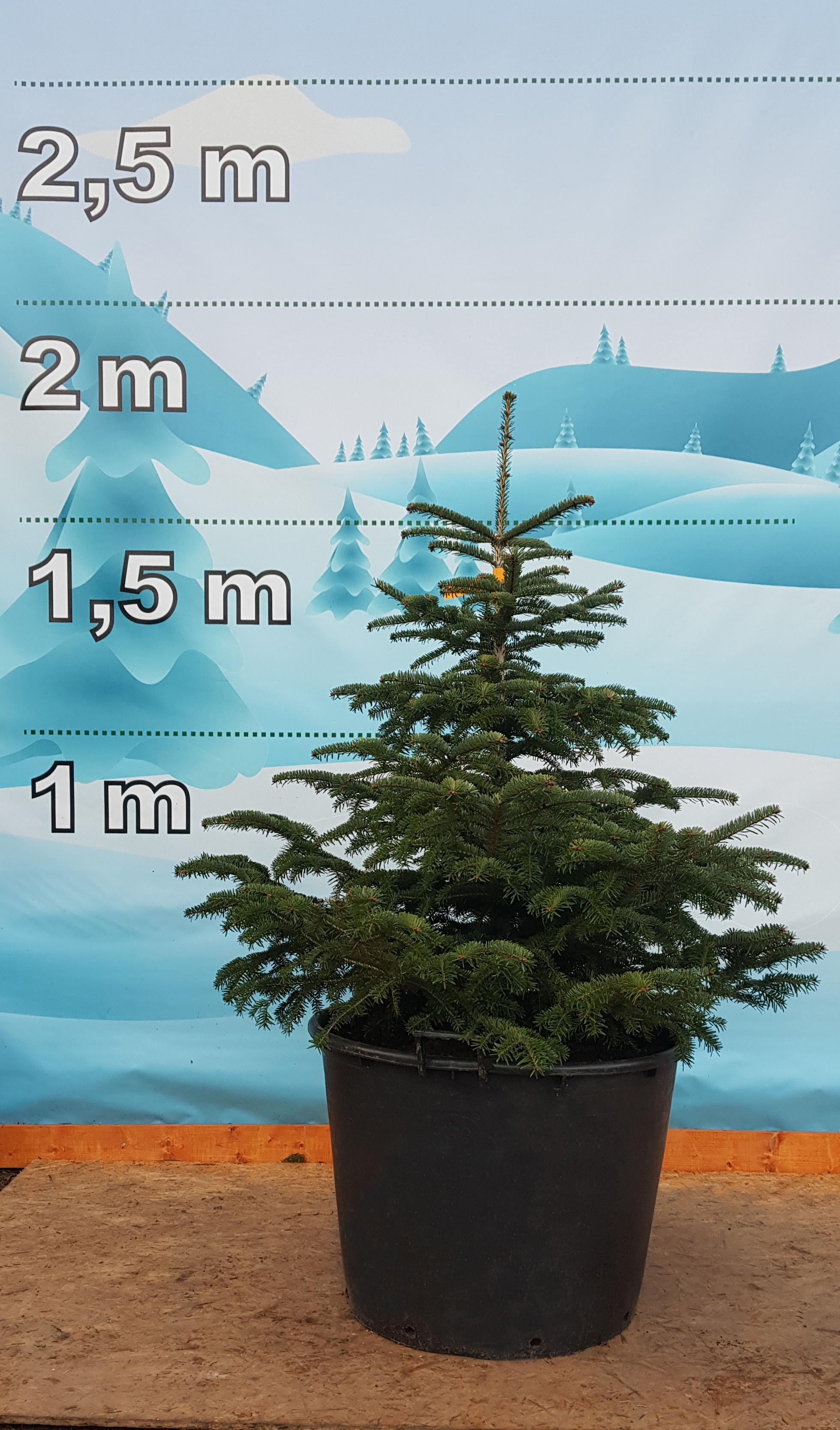 Levně Živý, řezaný Vánoční stromek Stromky v květináčích - Jedle Kavkazská / Jedle Kavkazská Lukáš - 3490 Kč